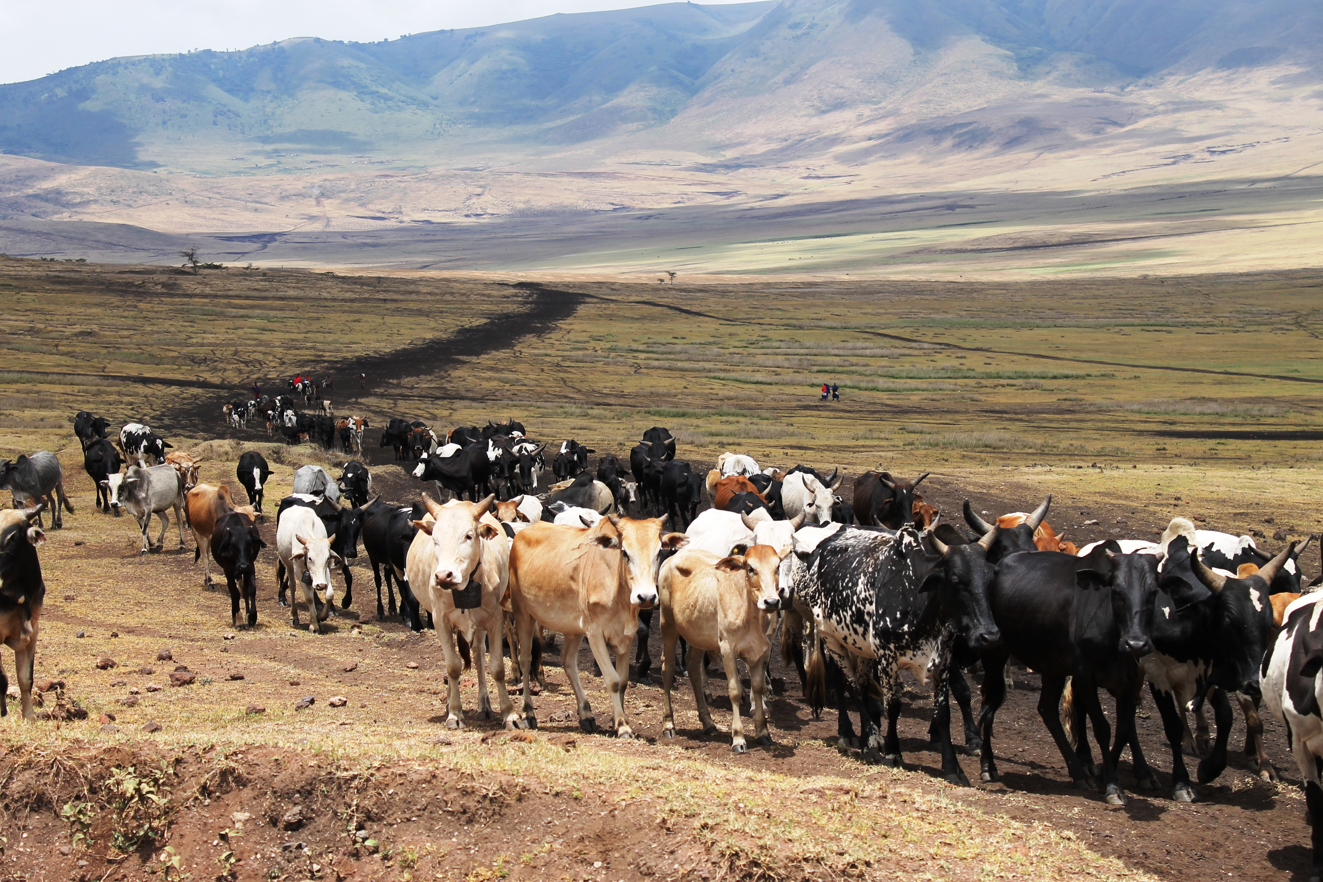 The Masai herding cows in the Ngorogoro Conseration Area.