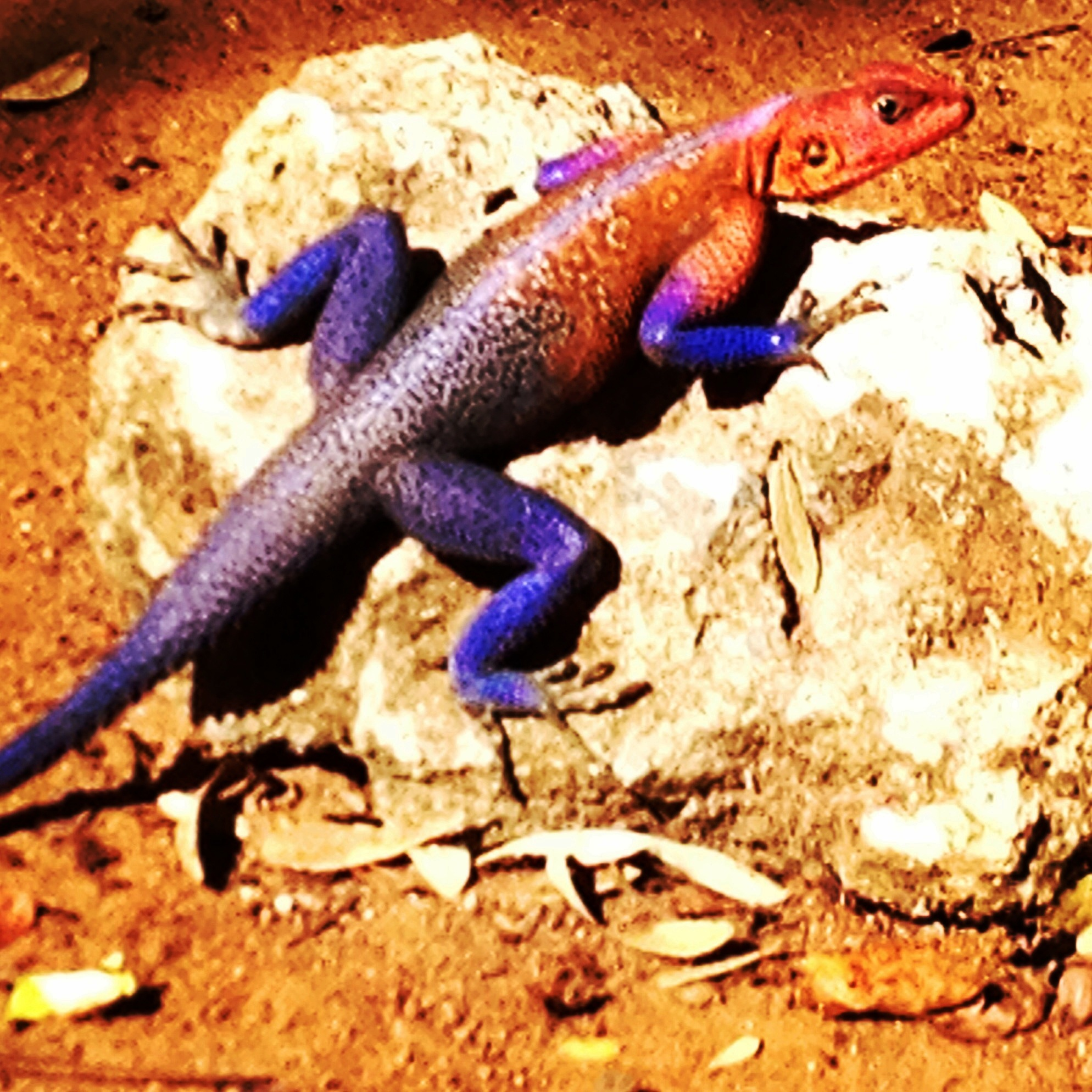 Mwanza Flat Headed Rock Agama - AKA the Spiderman Lizard in Mwanza, Tanzania.